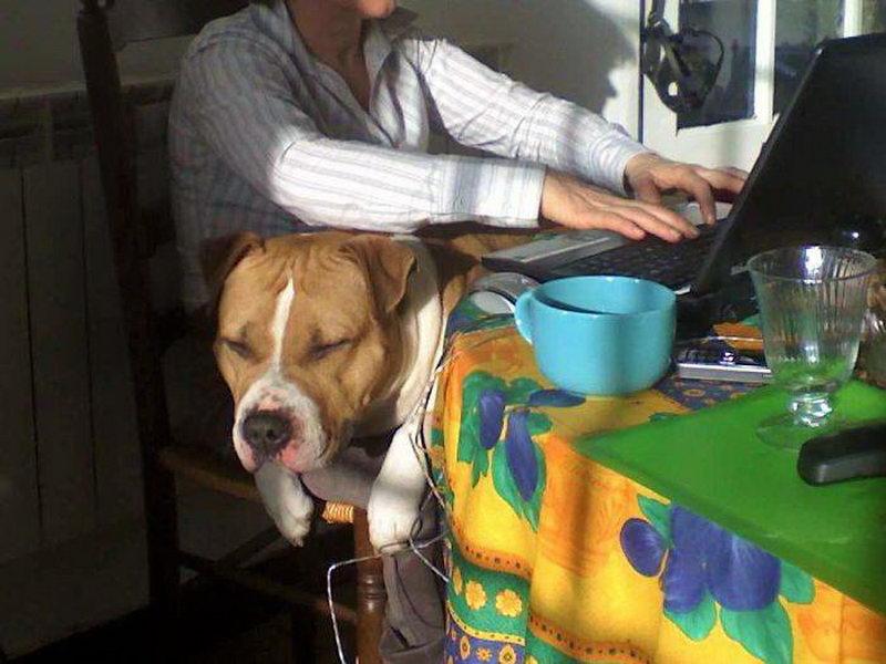 Большие собаки любящие посидеть на \ручках\ (50 фото)