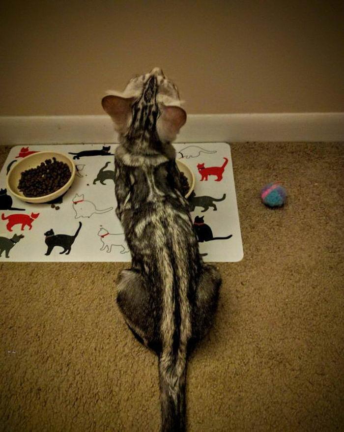 Кошки которые стали популярны благодаря необычным рисункам на мехе (80 фото)