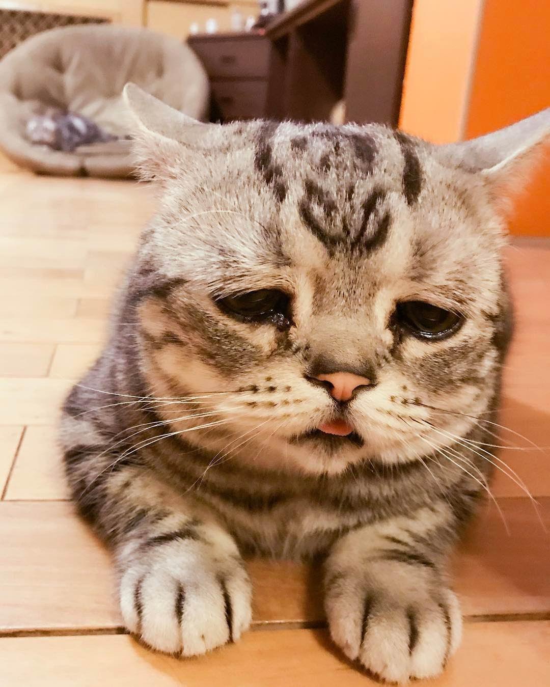 Встречайте Луху, саму грустную кошку в мире