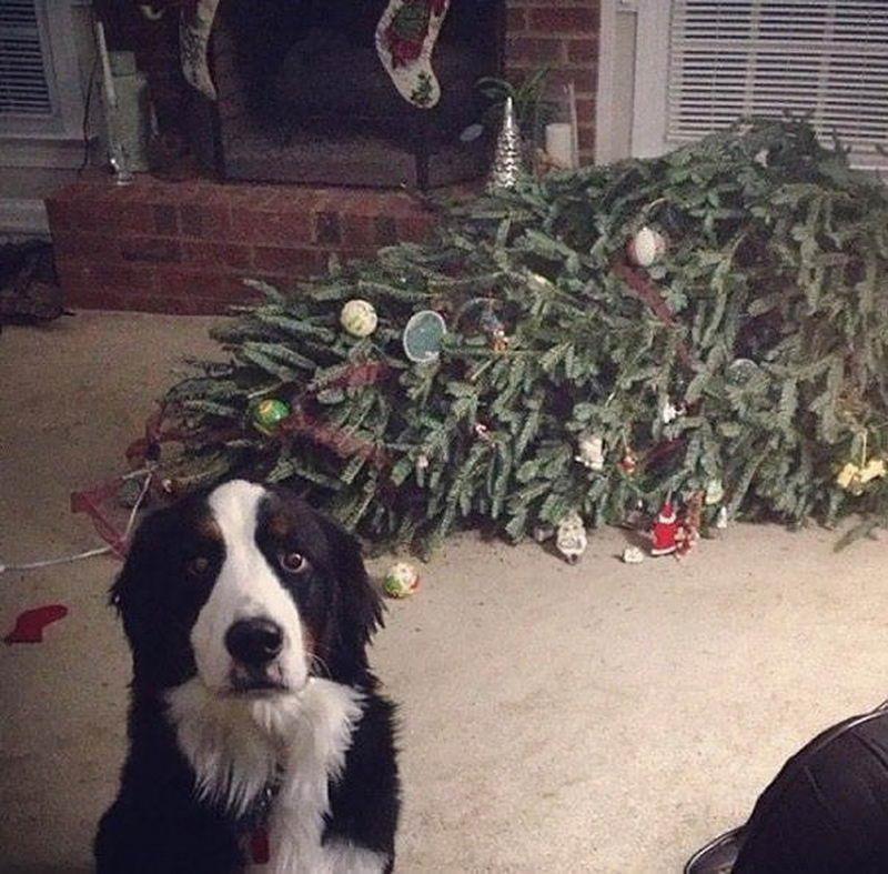 Кошки и собаки которые ненавидят новогодние праздники (35 фото)