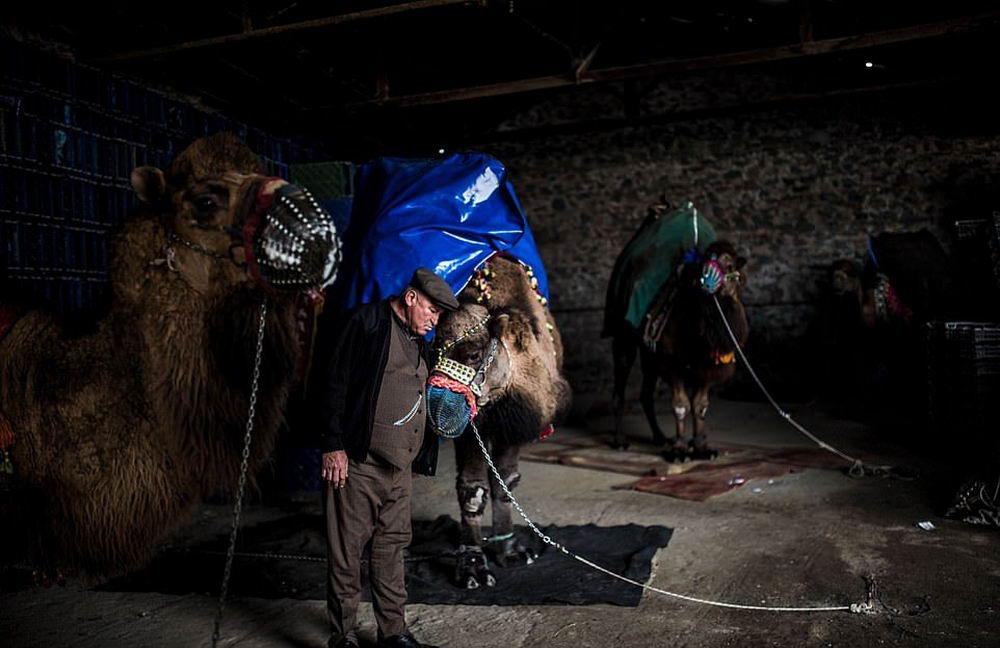 Турнир по верблюжьей борьбе в Турции (25 фото)