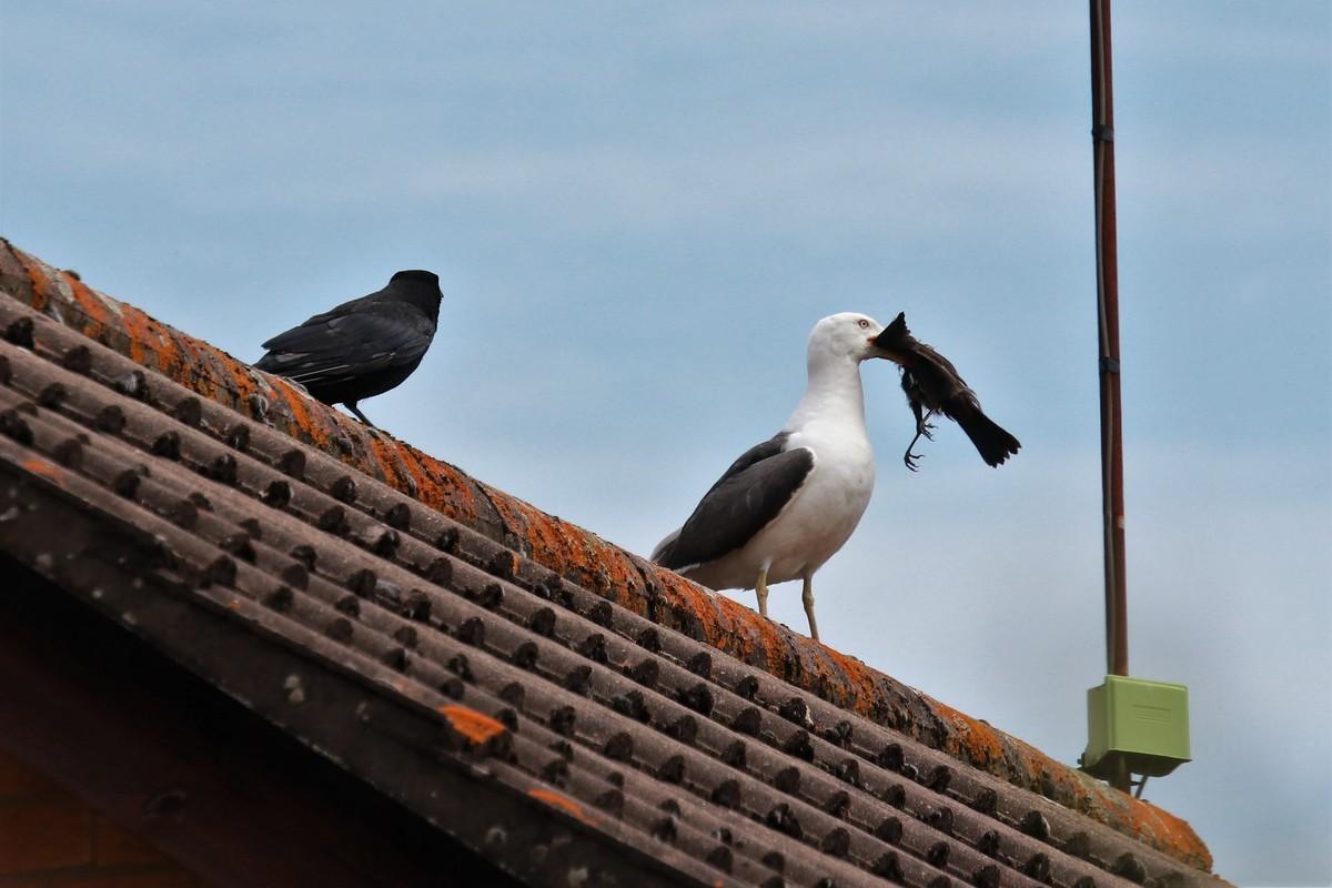 Обнаглевшие чайки воруют птенцов, еду у людей и даже собак (20 фото)
