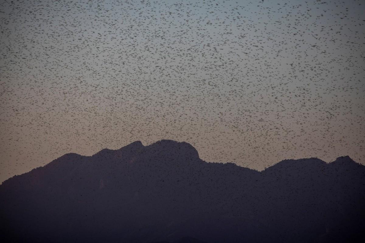 Миллиарды особей саранчи атаковали Кению (15 фото)