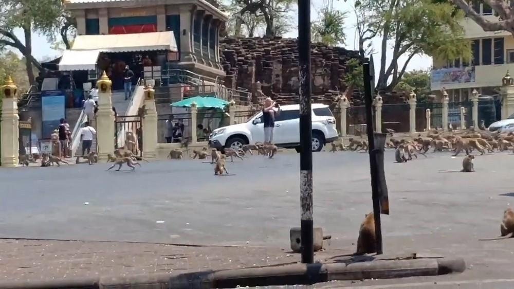 Сотни голодных диких обезьян терроризируют тайский город в поисках пищи (фото + видео)