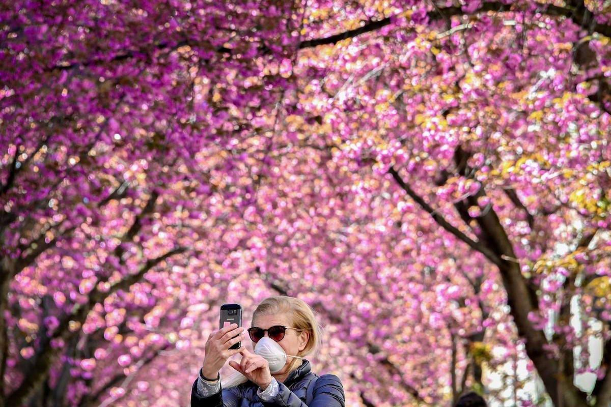 В Германии цветет сакура (30 фото)