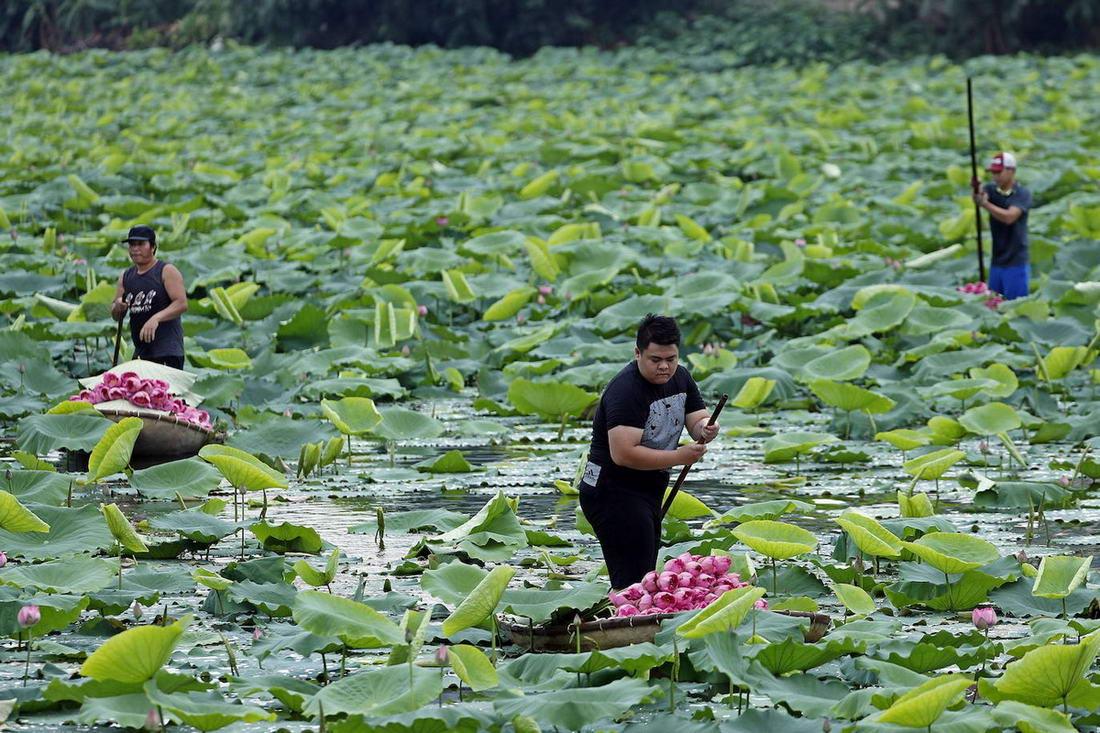 Сбор цветов лотоса во Вьетнаме (25 фото)