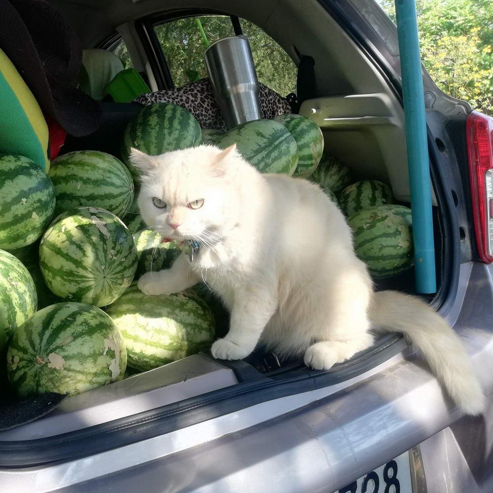Сердитый кот-охранник с арбузной фермы в Таиланде (25 фото)